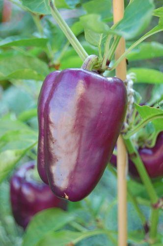 © Lindsay Obermeyer purple pepper